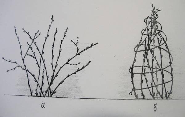 Обработка смородины осенью на зиму