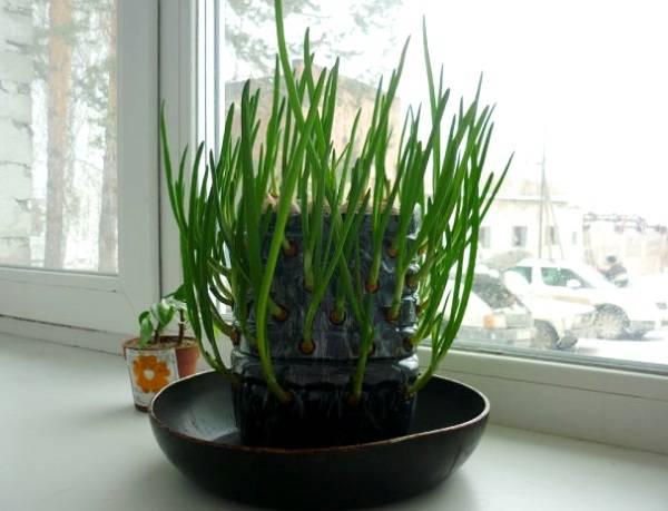 Как вырастить лук на подоконнике зимой