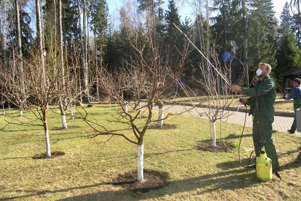 Мох на плодовых деревьях как бороться
