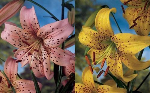 Лилии сорта с фото и названиями каталог
