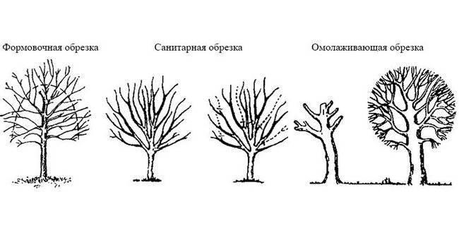 Как правильно обрезать деревья осенью в картинках