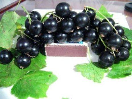 Смородина черная добрыня описание сорта