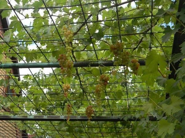 Как красиво посадить виноград на участке фото