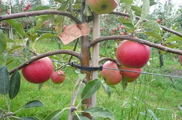 Обрезка карликовых яблонь видео