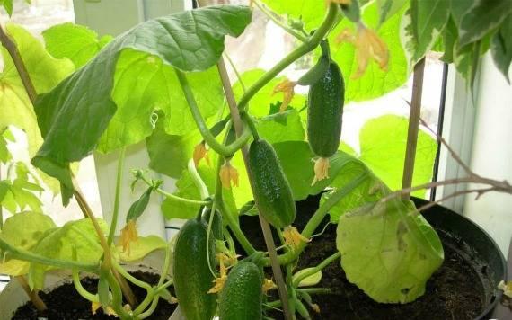 Как выращивать огурцы зимой в домашних условиях