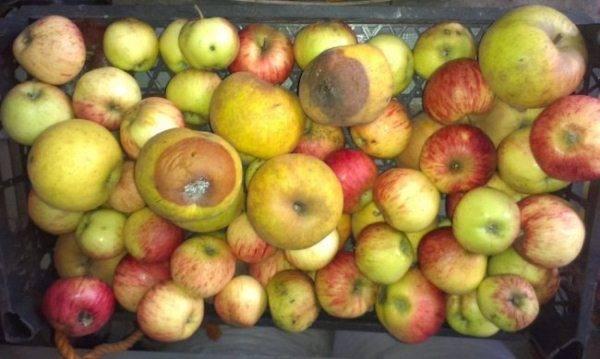 Гниют яблоки прямо на дереве что делать