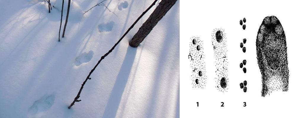 Следы ласки на снегу