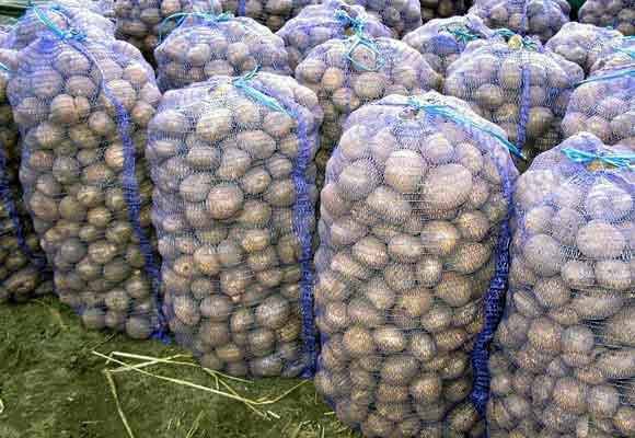 Какой сорт картошки лучше хранится зимой