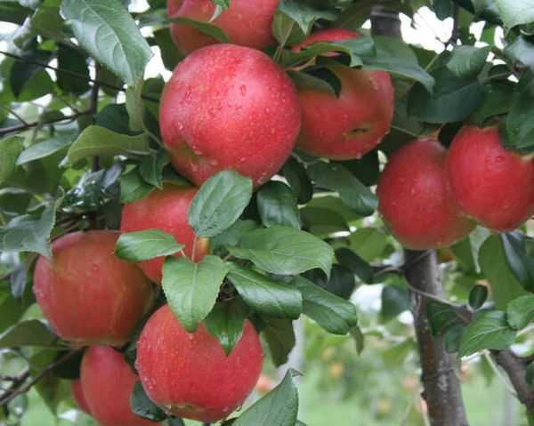 Яблоки хани крисп