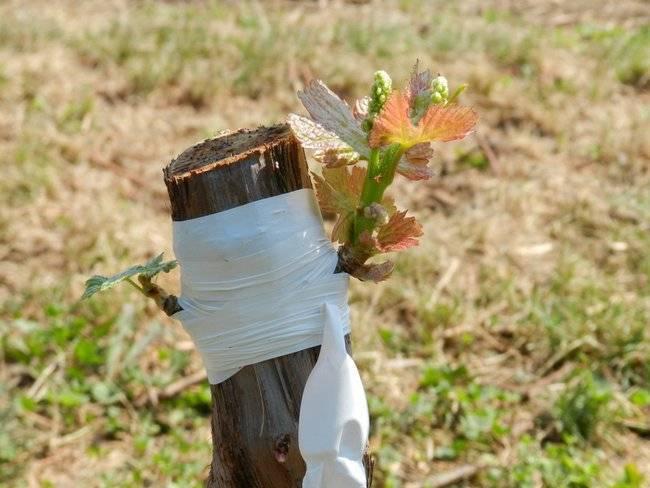 Прививка винограда ранней весной видео урок