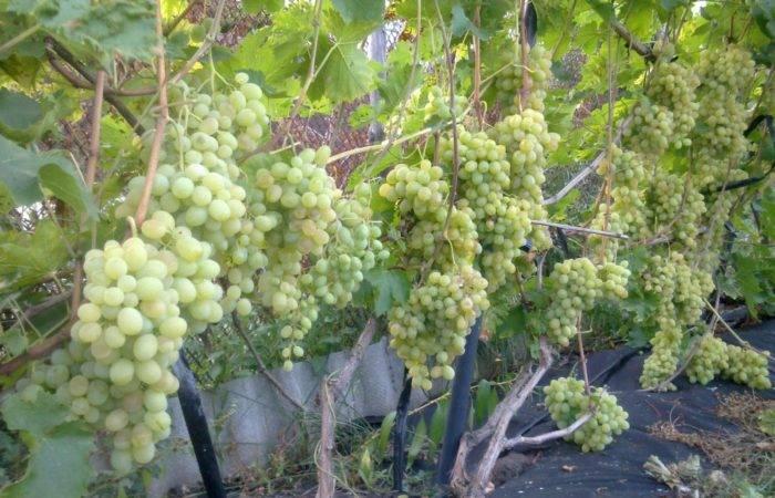 Как разводить медный купорос для опрыскивания винограда