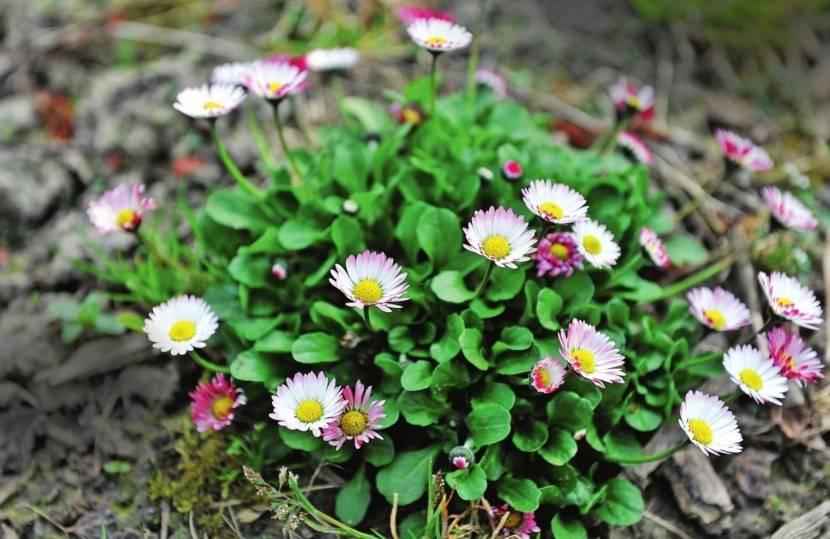 Цветок маргарита фото