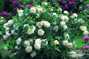 Роза вихура