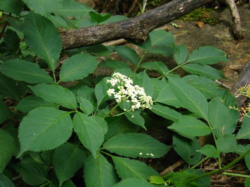 Растение бузина её описание и фото
