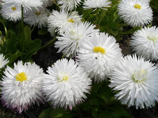 Хризантемы Маргаритка