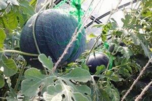 Арбуз огонек как выращивать