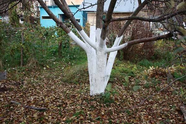 Когда белить стволы плодовых деревьев