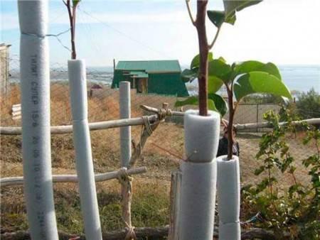 Почему лопается кора на плодовых деревьях
