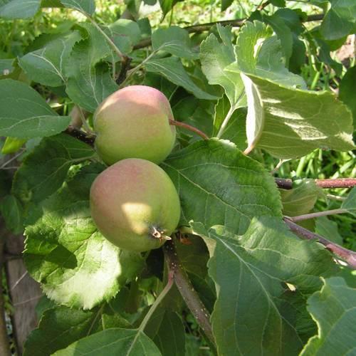 Яблоня дачная описание фото