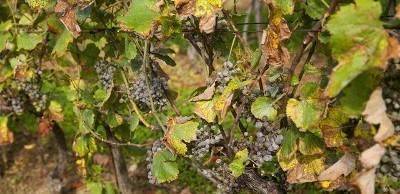 Черная пятнистость винограда лечение