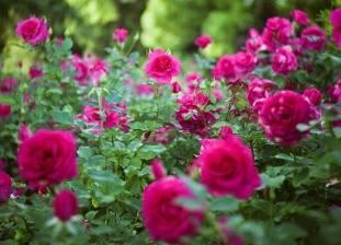 Что делать если розы опустили головы