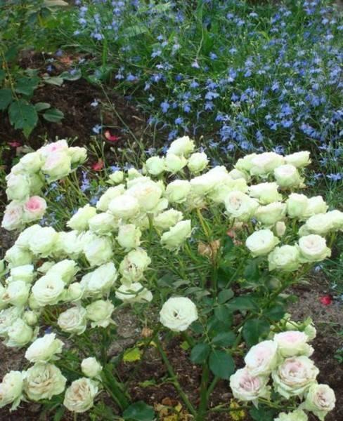 Жельторс роза