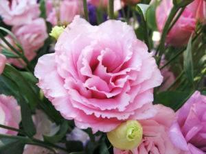 Комнатные цветы колокольчики фото названия