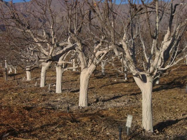 Побелка деревьев весной состав