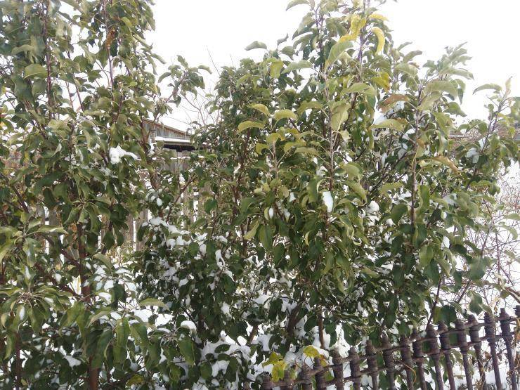 Чем укрыть кусты на зиму