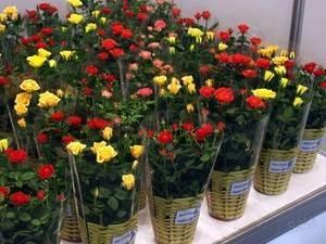 Пересадка комнатной розы осенью
