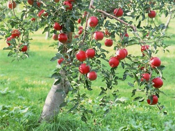 Как спасти яблоню с поврежденным стволом