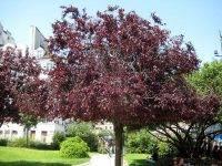 Краснолистные деревья и кустарники