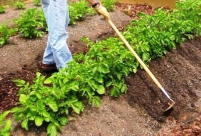 Что посадить после картофеля на следующей год