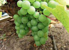 Как приготовить виноград к зиме видео