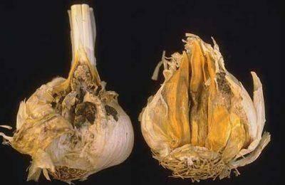 Семена ярового чеснока