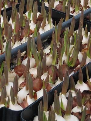 Тюльпаны описание цветка
