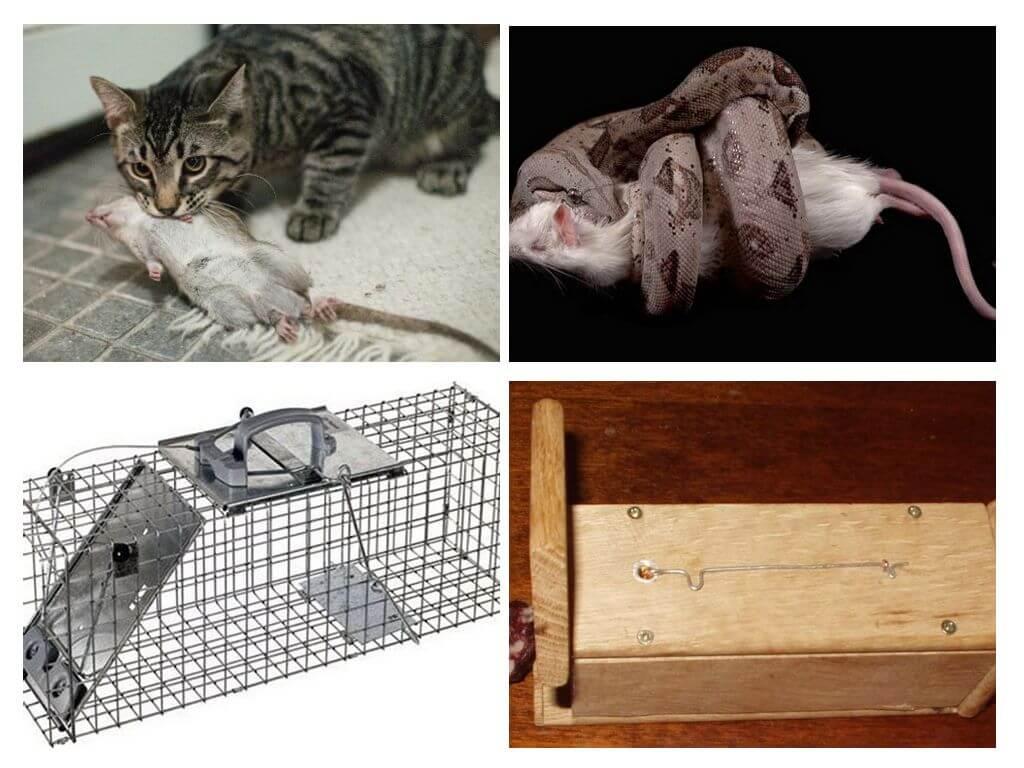 Эффективное средство от крыс и мышей