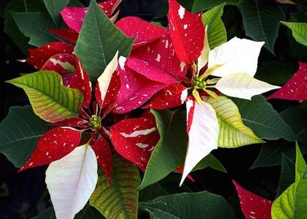 Когда цветет рождественская звезда