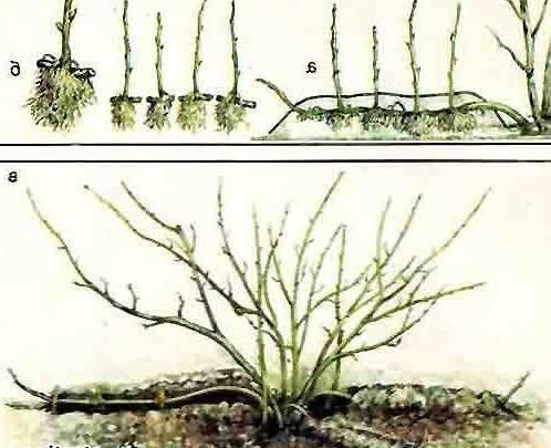 Как размножается смородина