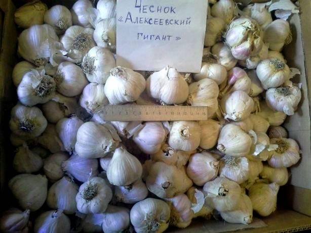 Высокоурожайные сорта чеснока