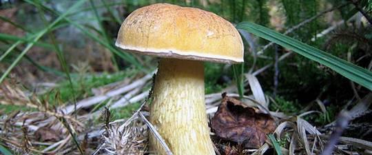 Как выглядят съедобные грибы