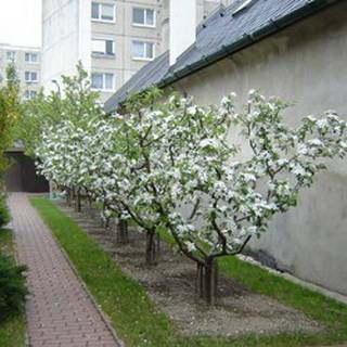Японская яблоня