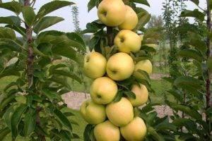 Обрезка колоновидной яблони осенью видео для начинающих