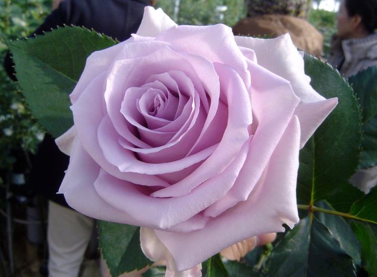 Как выбрать розы в магазине