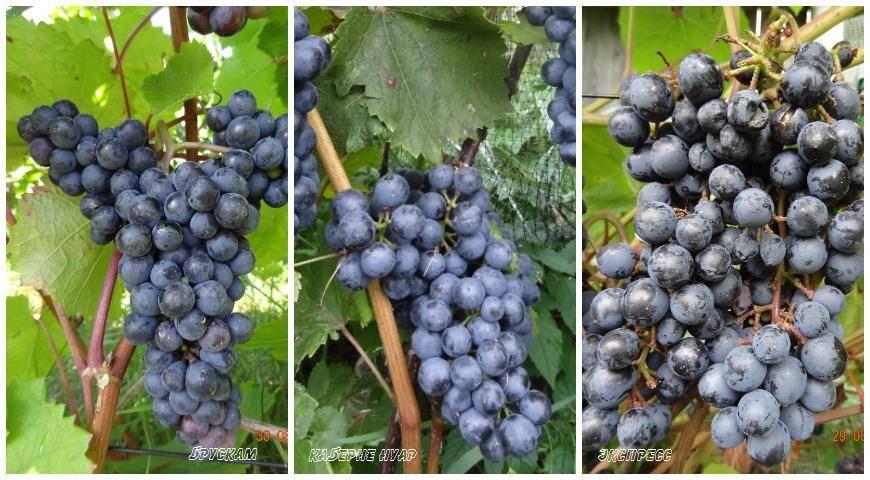 Винные сорта винограда фото и описание