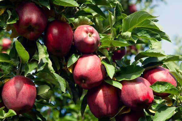 Сорт яблок рихард фото описание