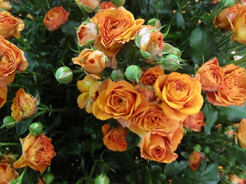 Полевые розы
