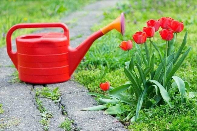 Уход за тюльпанами весной подкормка