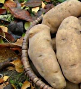 Картофель киранда описание сорта фото