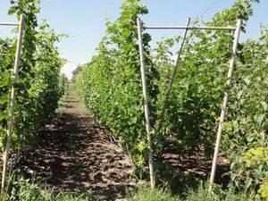 Проволока для шпалеры винограда